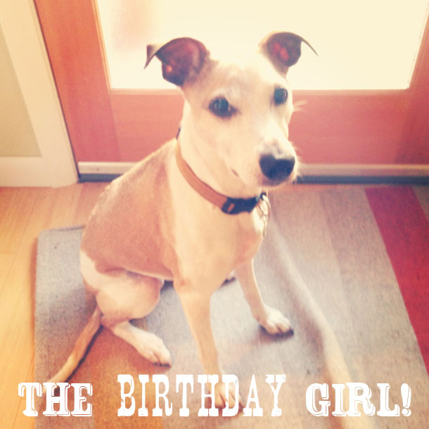 the birthday girl: lily, my sweet jack russell whippet mix